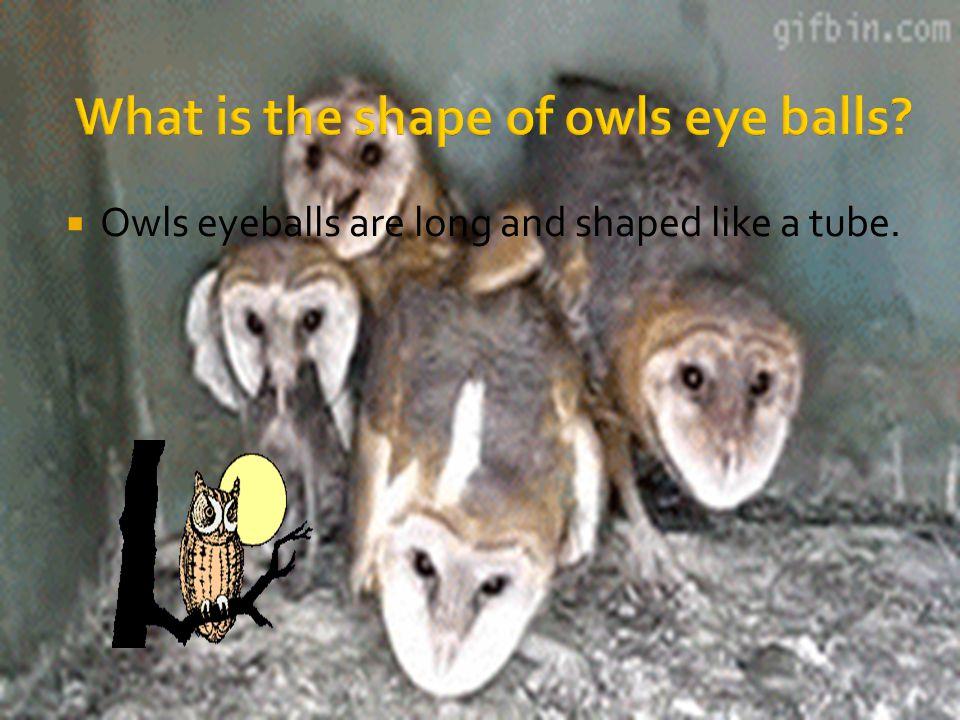  Owls eyeballs are long and shaped like a tube.