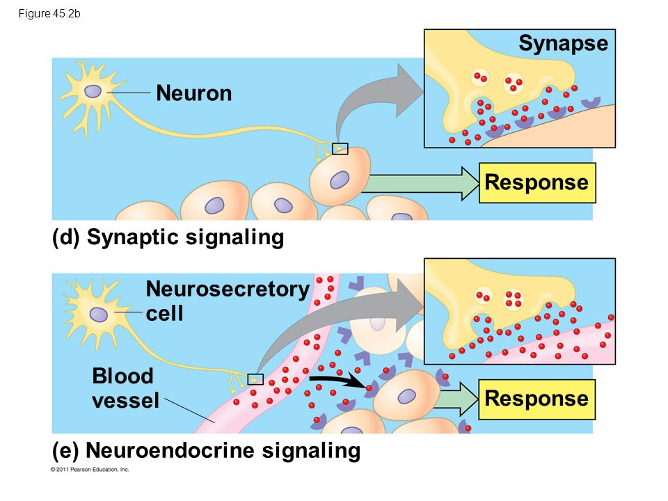 Figure 45.2b Synapse Response Neuron (d) Synaptic signaling Neurosecretory cell Blood vessel (e) Neuroendocrine signaling