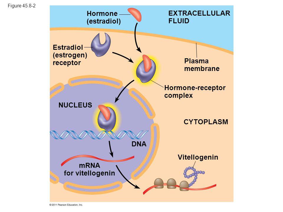 Figure 45.8-2 EXTRACELLULAR FLUID Hormone (estradiol) Estradiol (estrogen) receptor Plasma membrane Hormone-receptor complex NUCLEUS DNA CYTOPLASM Vitellogenin mRNA for vitellogenin
