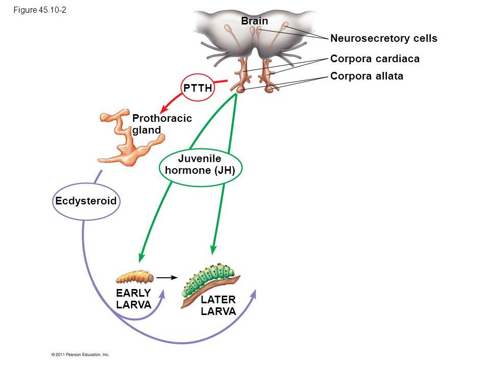 Brain Neurosecretory cells Corpora cardiaca Corpora allata PTTH Prothoracic gland Ecdysteroid Juvenile hormone (JH) EARLY LARVA LATER LARVA Figure 45.10-2