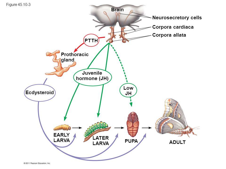 Brain Neurosecretory cells Corpora cardiaca Corpora allata PTTH Prothoracic gland Ecdysteroid Juvenile hormone (JH) Low JH EARLY LARVA LATER LARVA PUPA ADULT Figure 45.10-3