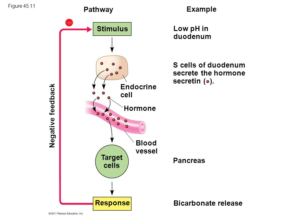 Pathway Example  Stimulus Low pH in duodenum Endocrine cell S cells of duodenum secrete the hormone secretin ( ). Hormone Blood vessel Target cells P