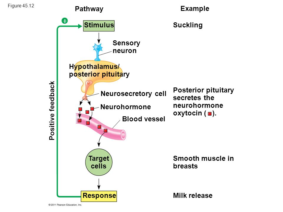 Pathway  Example Stimulus Suckling Sensory neuron Positive feedback Hypothalamus/ posterior pituitary Neurosecretory cell Neurohormone Blood vessel T