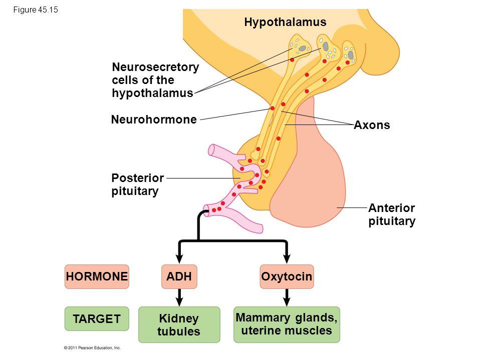 Neurosecretory cells of the hypothalamus Neurohormone Posterior pituitary Hypothalamus Axons Anterior pituitary HORMONE TARGET ADHOxytocin Kidney tubules Mammary glands, uterine muscles Figure 45.15