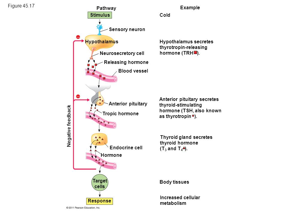 Figure 45.17 Pathway Example Stimulus Cold Sensory neuron   Hypothalamus Neurosecretory cell Releasing hormone Blood vessel Anterior pituitary Tropi