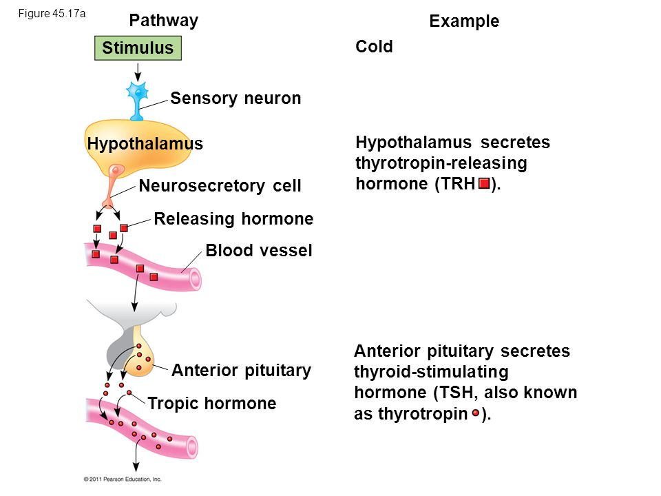 Pathway Example Stimulus Cold Sensory neuron Hypothalamus Neurosecretory cell Releasing hormone Blood vessel Anterior pituitary Tropic hormone Hypotha