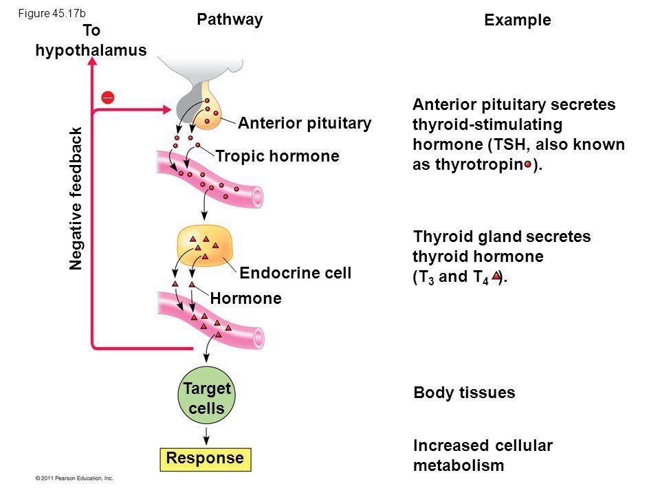 Anterior pituitary Tropic hormone Endocrine cell Hormone Target cells Response Anterior pituitary secretes thyroid-stimulating hormone (TSH, also known as thyrotropin ).