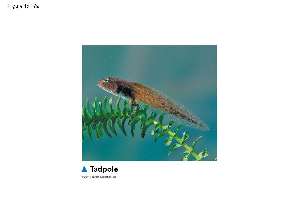Figure 45.19a Tadpole