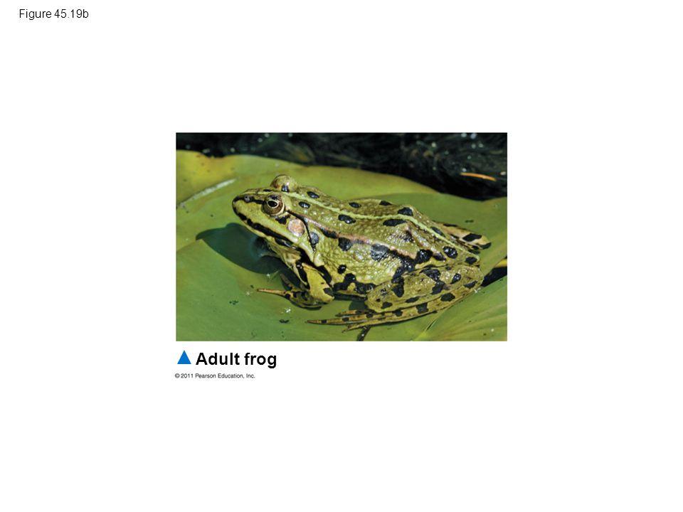 Figure 45.19b Adult frog