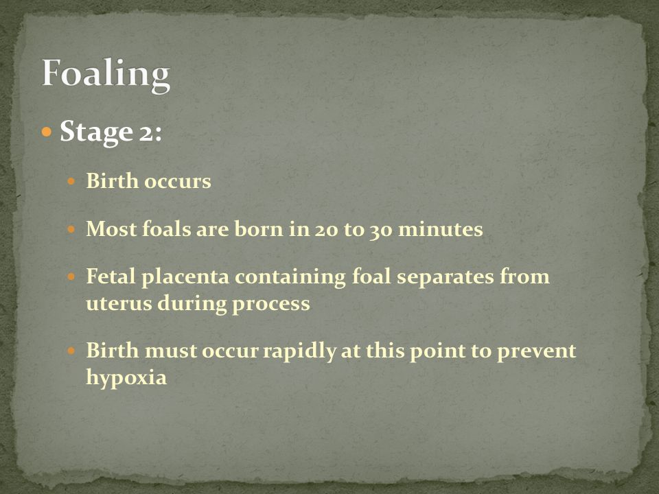 Stage 2: Birth occurs Most foals are born in 20 to 30 minutes Fetal placenta containing foal separates from uterus during process Birth must occur rapidly at this point to prevent hypoxia