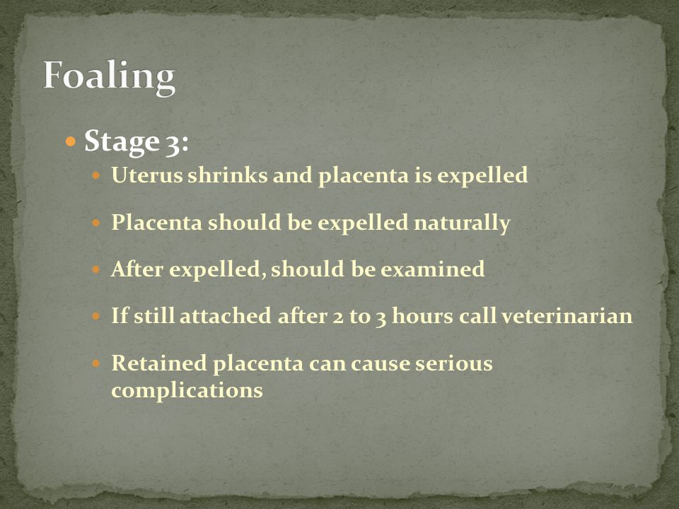 Stage 3: Uterus shrinks and placenta is expelled Placenta should be expelled naturally After expelled, should be examined If still attached after 2 to 3 hours call veterinarian Retained placenta can cause serious complications