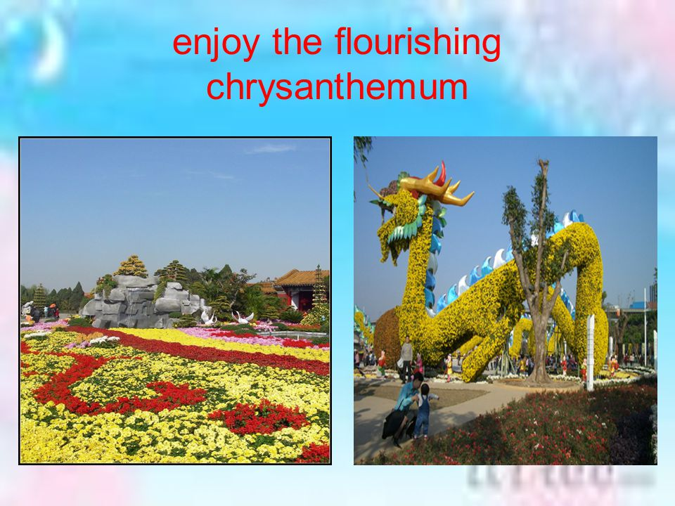 enjoy the flourishing chrysanthemum