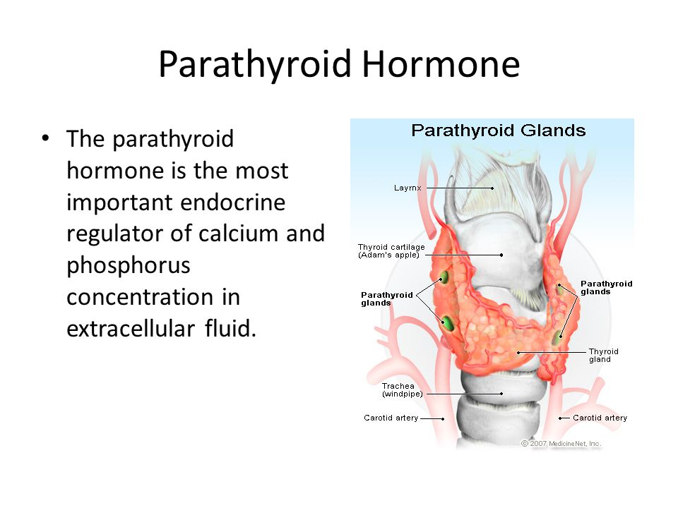 How the parathyroid hormone accomplishes its job Mobilization of calcium from bone.