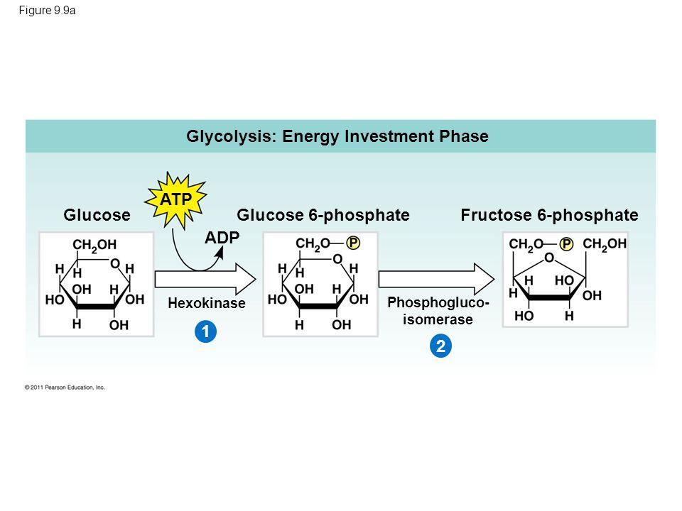 Figure 9.9a Glycolysis: Energy Investment Phase ATP Glucose Glucose 6-phosphate ADP Hexokinase 1 Fructose 6-phosphate Phosphogluco- isomerase 2