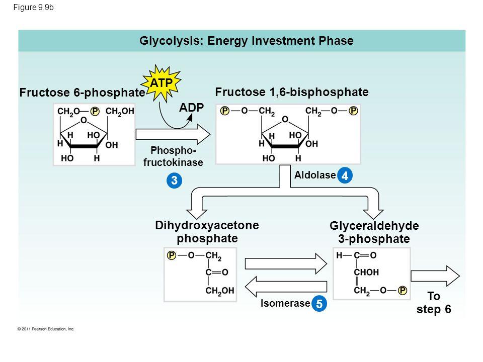 Figure 9.9b Glycolysis: Energy Investment Phase ATP Fructose 6-phosphate ADP 3 Fructose 1,6-bisphosphate Phospho- fructokinase 45 Aldolase Dihydroxyacetone phosphate Glyceraldehyde 3-phosphate To step 6 Isomerase