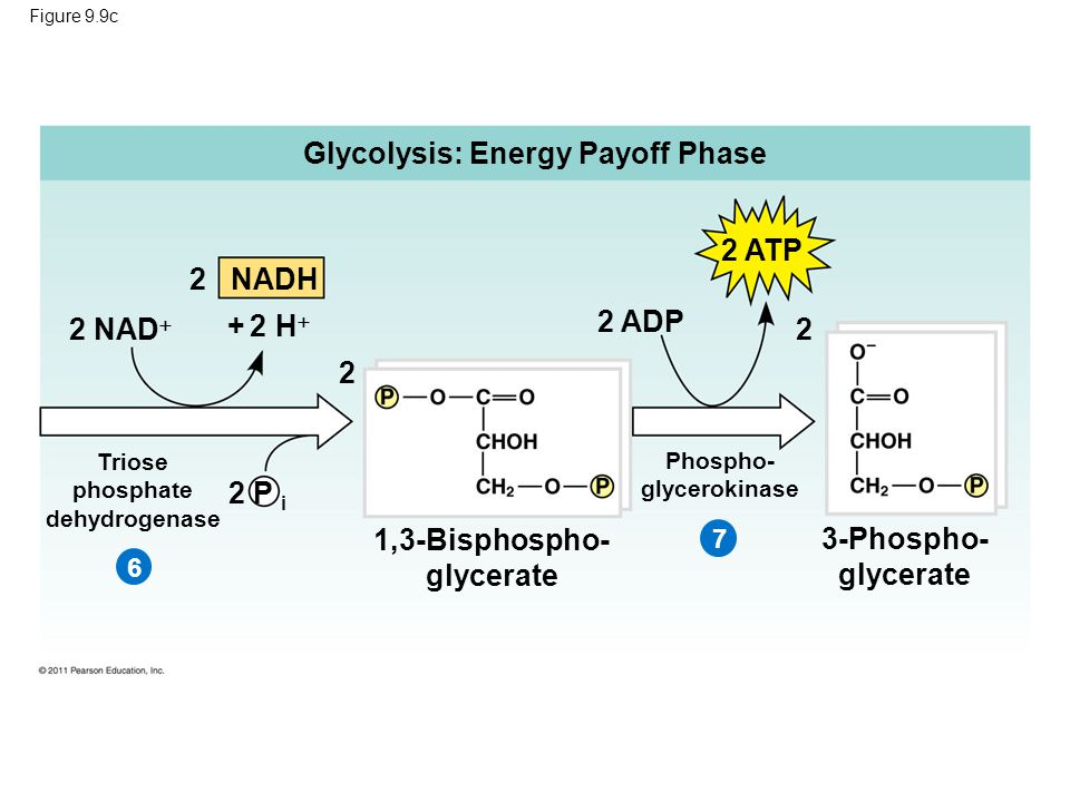 Figure 9.9c Glycolysis: Energy Payoff Phase 2 NADH 2 ATP 2 ADP 2 2 2 NAD  + 2 H  2 P i 3-Phospho- glycerate 1,3-Bisphospho- glycerate Triose phosphate dehydrogenase Phospho- glycerokinase 67