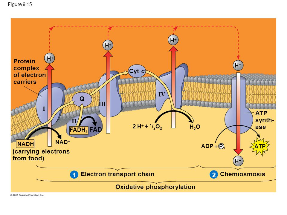 Figure 9.15 Protein complex of electron carriers (carrying electrons from food) Electron transport chain Oxidative phosphorylation Chemiosmosis ATP synth- ase I II III IV Q Cyt c FAD FADH 2 NADH ADP  P i NAD  HH 2 H  + 1 / 2 O 2 HH HH HH 21 HH H2OH2O ATP