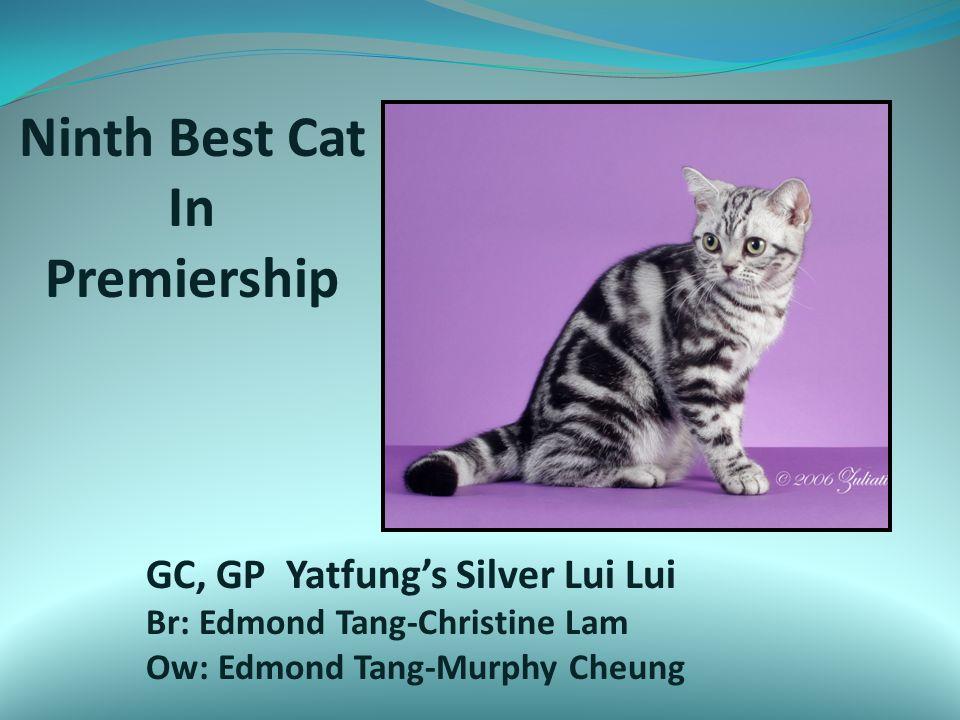 Ninth Best Cat In Premiership GC, GP Yatfung's Silver Lui Lui Br: Edmond Tang-Christine Lam Ow: Edmond Tang-Murphy Cheung