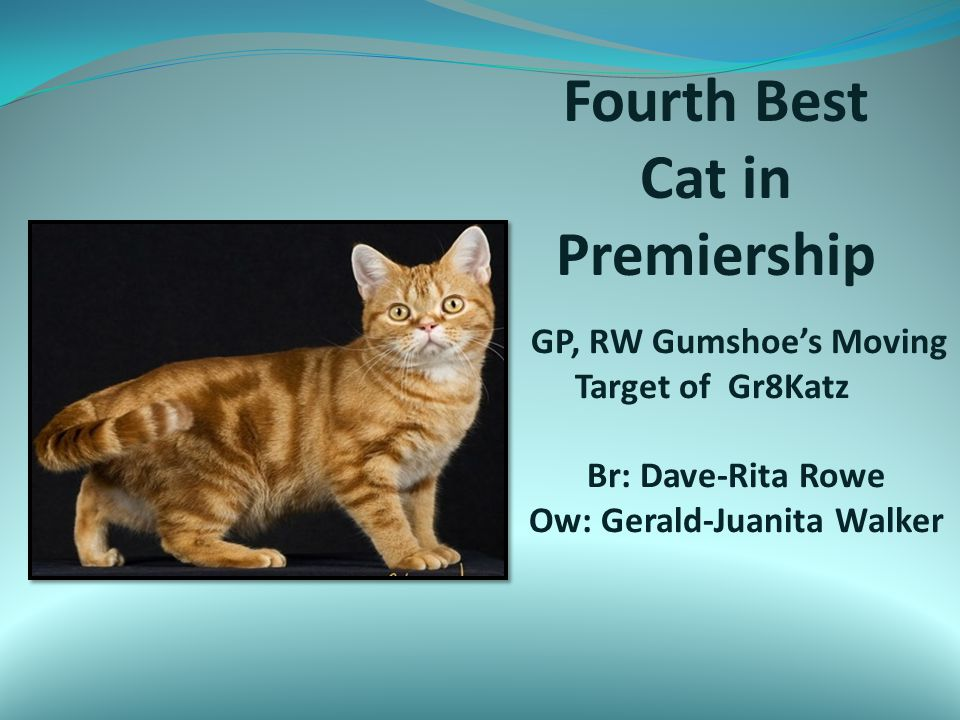 Fourth Best Cat in Premiership GP, RW Gumshoe's Moving Target of Gr8Katz Br: Dave-Rita Rowe Ow: Gerald-Juanita Walker