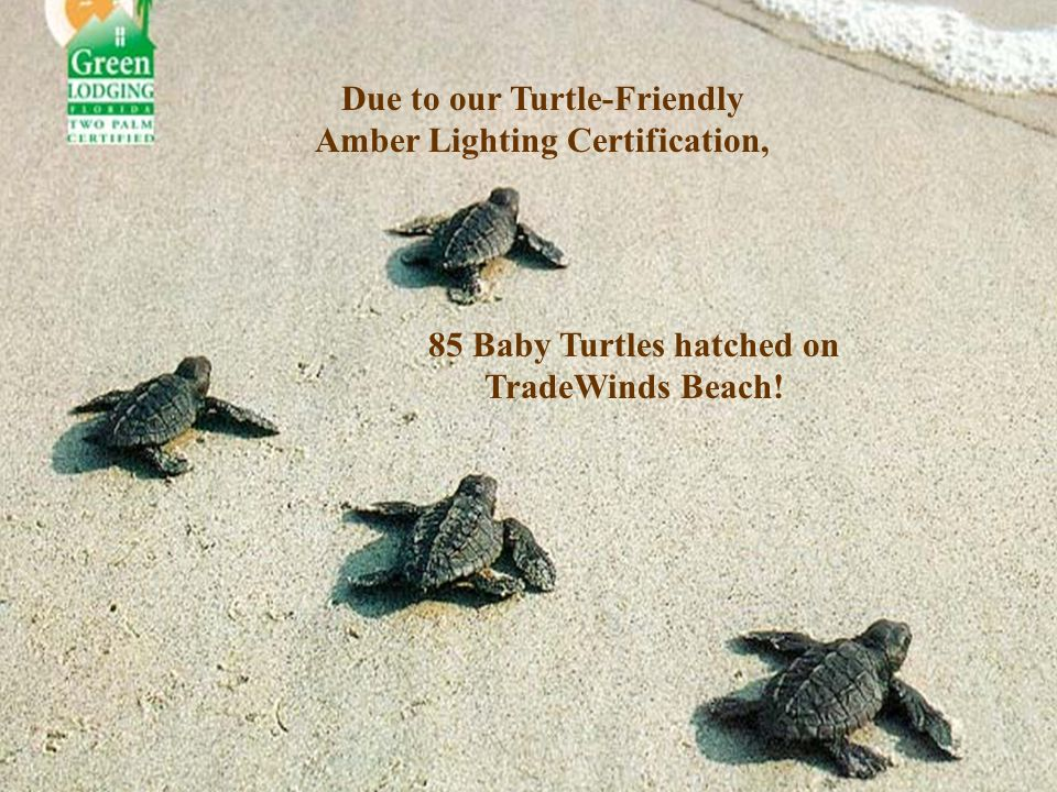 Due to our Turtle-Friendly Amber Lighting Certification, 85 Baby Turtles hatched on TradeWinds Beach!