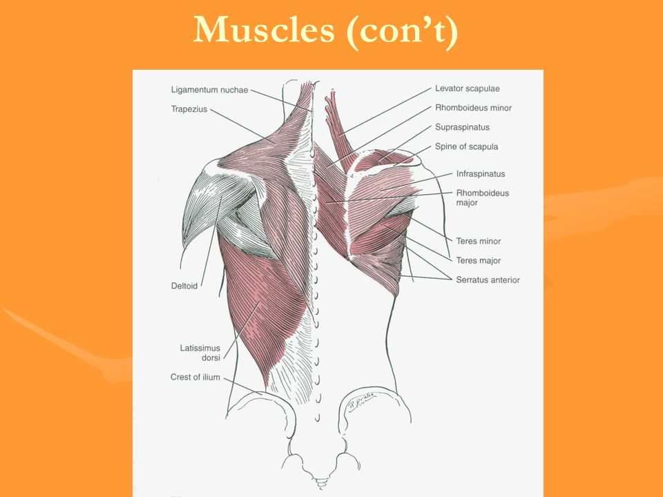 Muscles (con't)