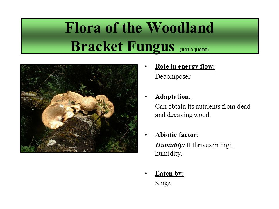 Flora of the Woodland Bracket Fungus (not a plant) Role in energy flow: Decomposer Adaptation: Can obtain its nutrients from dead and decaying wood.