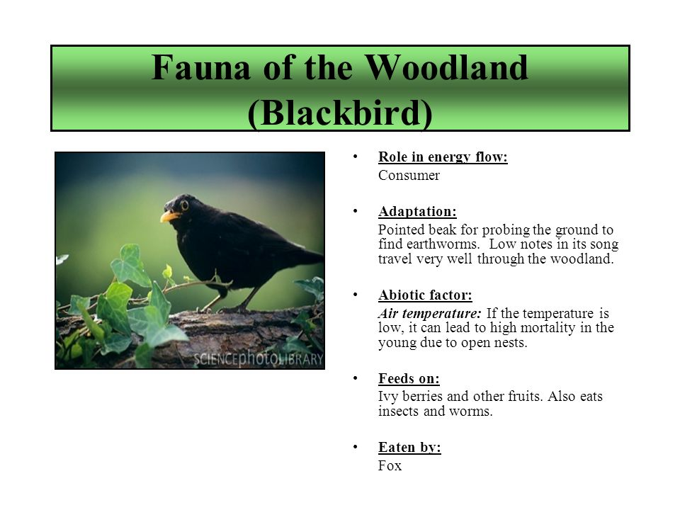 Fauna of the Woodland (Blackbird) Role in energy flow: Consumer Adaptation: Pointed beak for probing the ground to find earthworms.