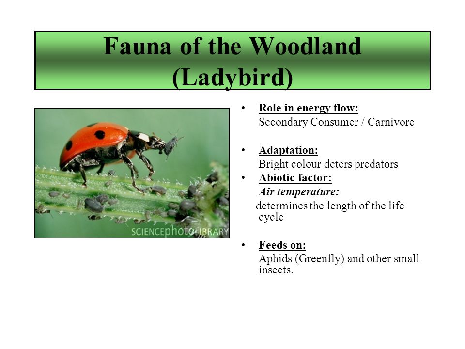 Fauna of the Woodland (Ladybird) Role in energy flow: Secondary Consumer / Carnivore Adaptation: Bright colour deters predators Abiotic factor: Air temperature: determines the length of the life cycle Feeds on: Aphids (Greenfly) and other small insects.