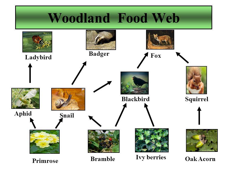 Woodland Food Web Primrose Fox Squirrel Oak Acorn Ivy berries Blackbird Bramble Snail Aphid Ladybird Badger
