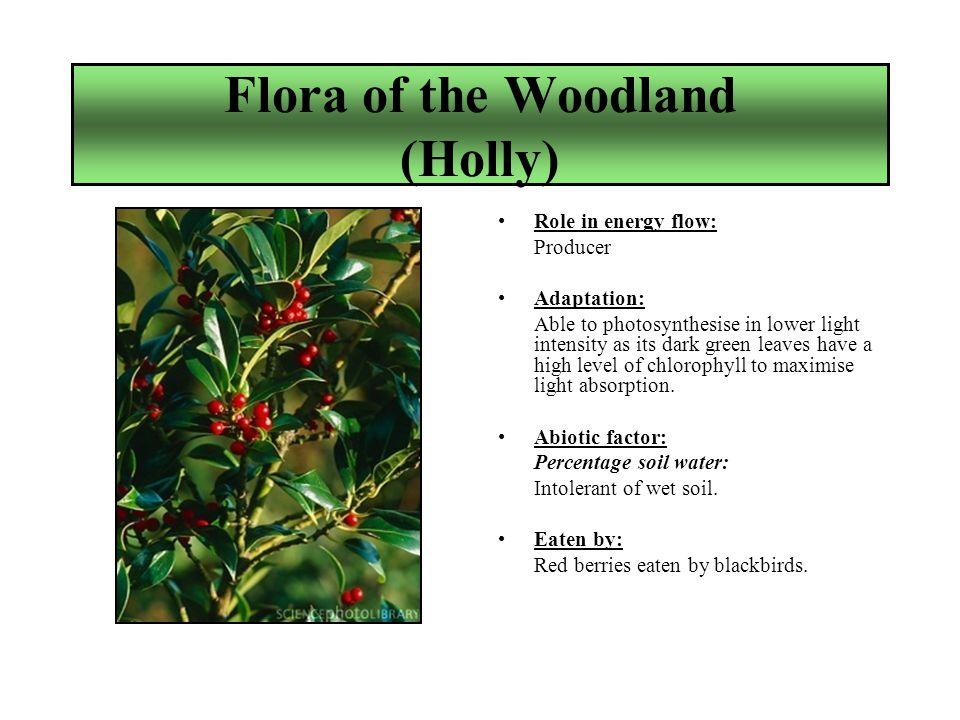 Flora of the Woodland (Holly) Role in energy flow: Producer Adaptation: Able to photosynthesise in lower light intensity as its dark green leaves have a high level of chlorophyll to maximise light absorption.