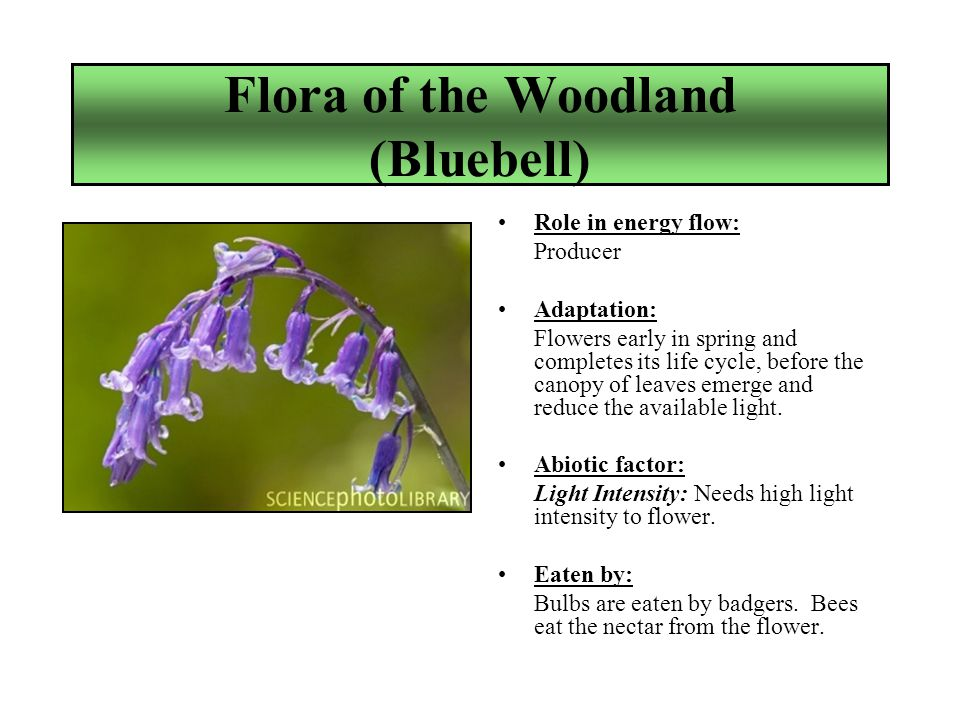Flora of the Woodland (Bluebell) Role in energy flow: Producer Adaptation: Flowers early in spring and completes its life cycle, before the canopy of leaves emerge and reduce the available light.