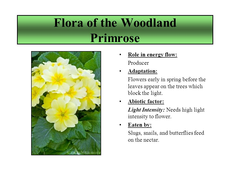 Flora of the Woodland Primrose Role in energy flow: Producer Adaptation: Flowers early in spring before the leaves appear on the trees which block the light.