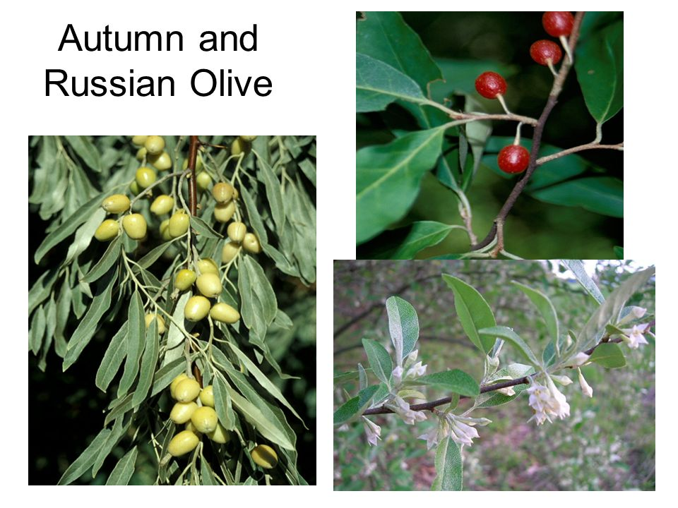 20 Autumn and Russian Olive