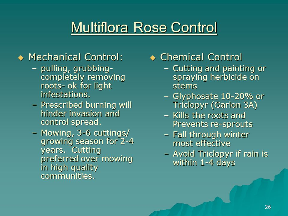 26 Multiflora Rose Control  Mechanical Control: –pulling, grubbing- completely removing roots- ok for light infestations.