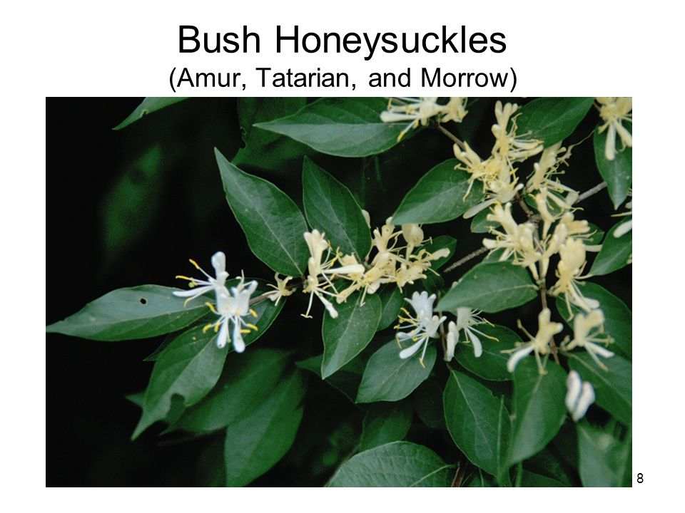 8 Bush Honeysuckles (Amur, Tatarian, and Morrow)