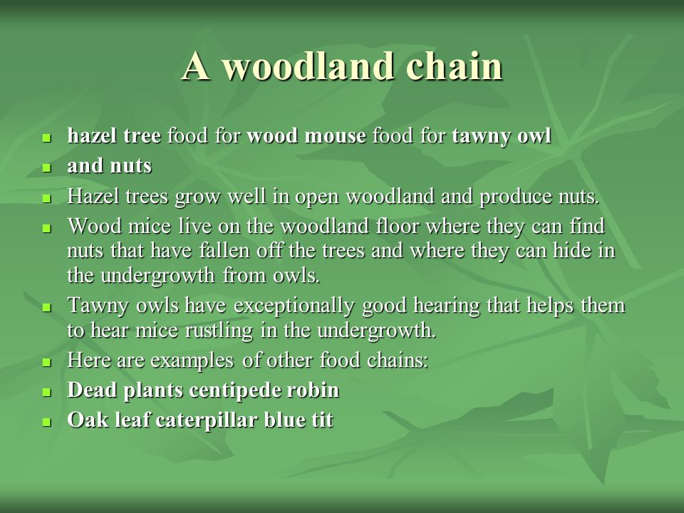 A woodland chain hazel tree food for wood mouse food for tawny owl hazel tree food for wood mouse food for tawny owl and nuts and nuts Hazel trees gro