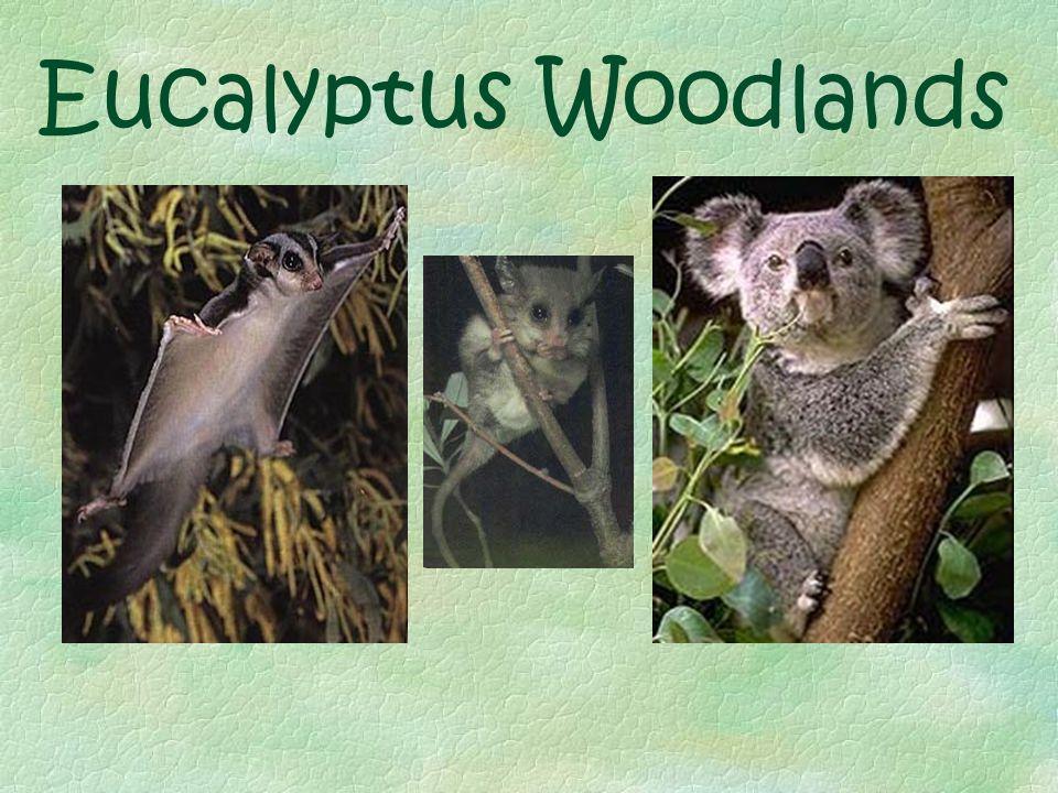 Eucalyptus Woodlands