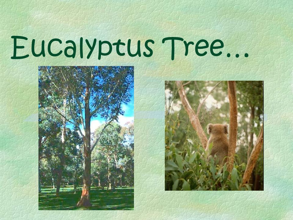 Climate § Climate doesn't have extremes §Northern eucalyptus forest- Has an average of 4 inches of rainfall a month but it rains about 11-12 days per month §Southern- Has an average of 4-5 inches of rain a month with about 8 rainy days per month