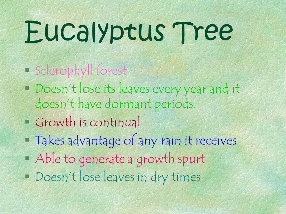 Eucalyptus Tree…