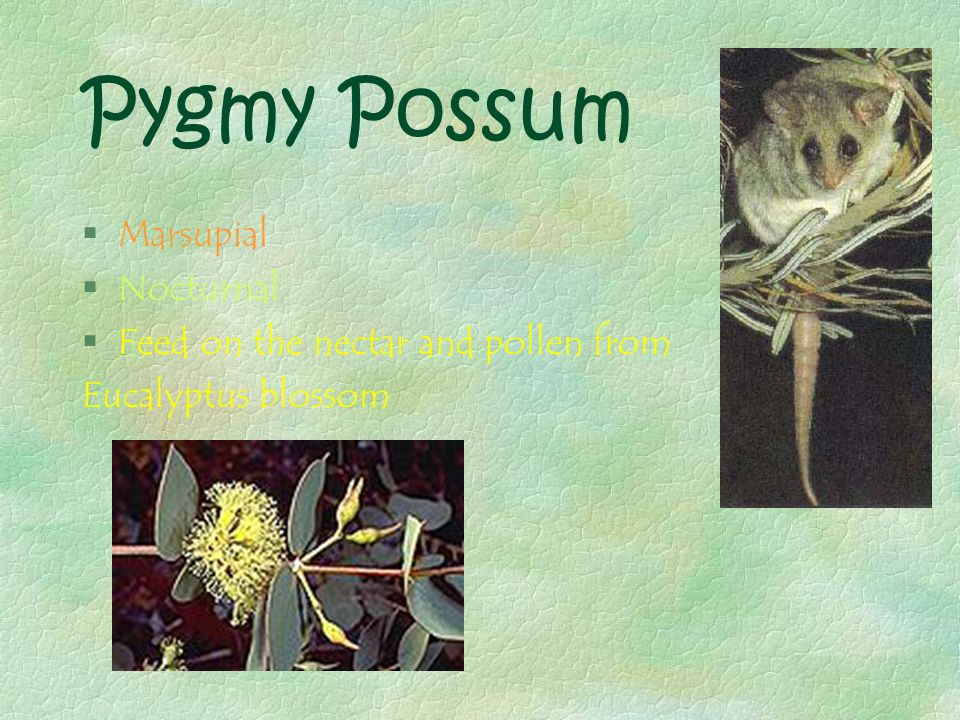 Pygmy Possum §Marsupial §Nocturnal §Feed on the nectar and pollen from Eucalyptus blossom