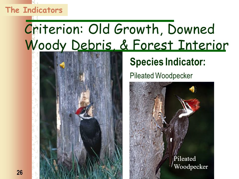 26 The Indicators Pileated Woodpecker Criterion: Old Growth, Downed Woody Debris, & Forest Interior Species Indicator: Pileated Woodpecker