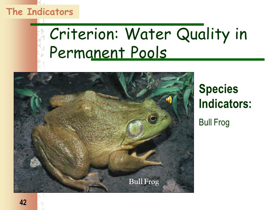 42 Bull Frog The Indicators Criterion: Water Quality in Permanent Pools Species Indicators: Bull Frog
