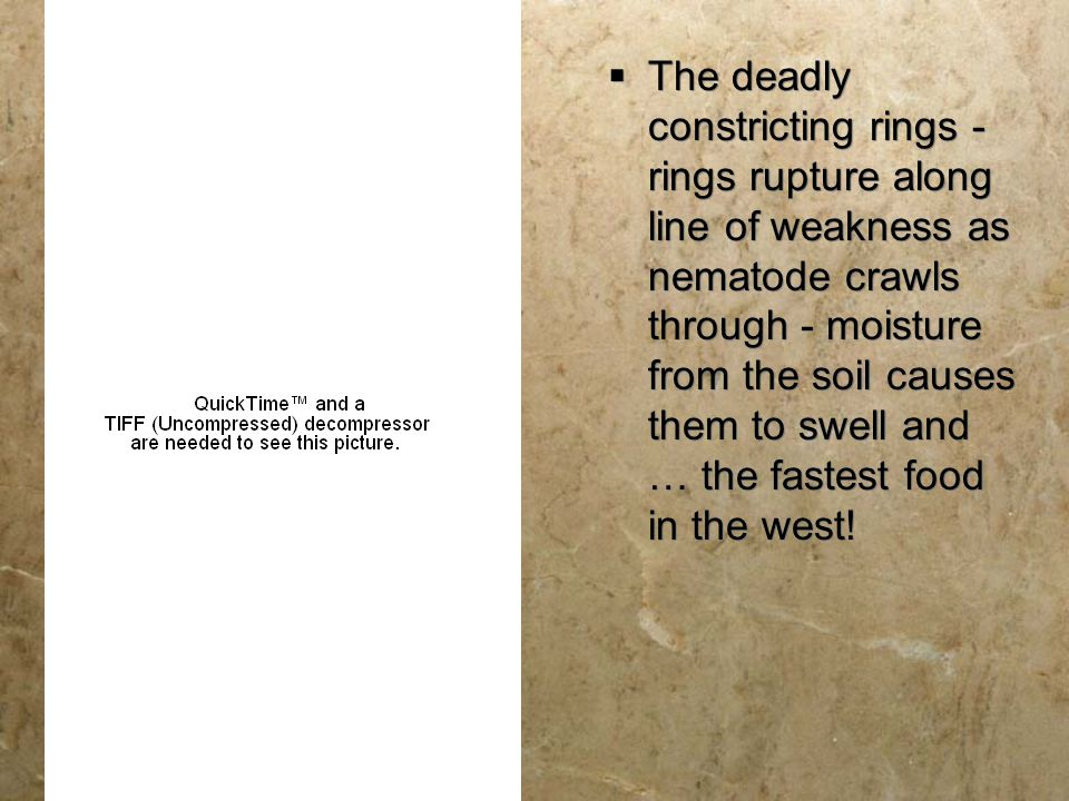  The deadly constricting rings - rings rupture along line of weakness as nematode crawls through - moisture from the soil causes them to swell and …