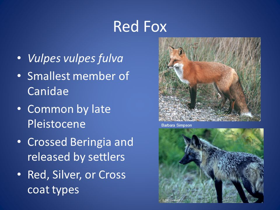 Red Fox Breeding season December-April in Midwest Sexually Mature in the first Year & monestrous Gestation lasts 51-53 days Mean litter of 5 pups Both parents provide care Exploring begins after 3 weeks Weaned at 5 weeks Dispersal brought by onset of puberty (usually end of summer) 31 and 11 km dispersal for males and females respectively Hank Velder