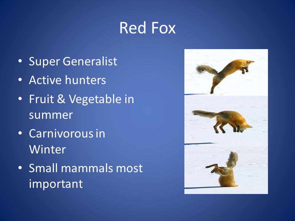 Red Fox Most widely distributed carnivore in the world Arctic to desert and everything in between Larivière and Pasitchniak-Arts 1996 adapted from others