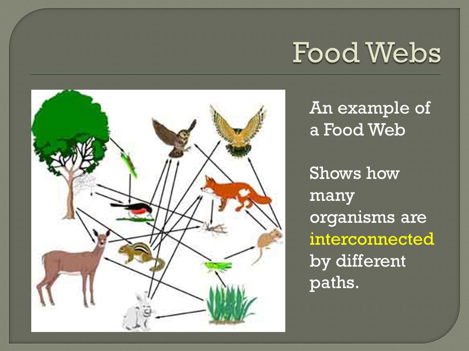 An example of a Food Web Shows how many organisms are interconnected by different paths.