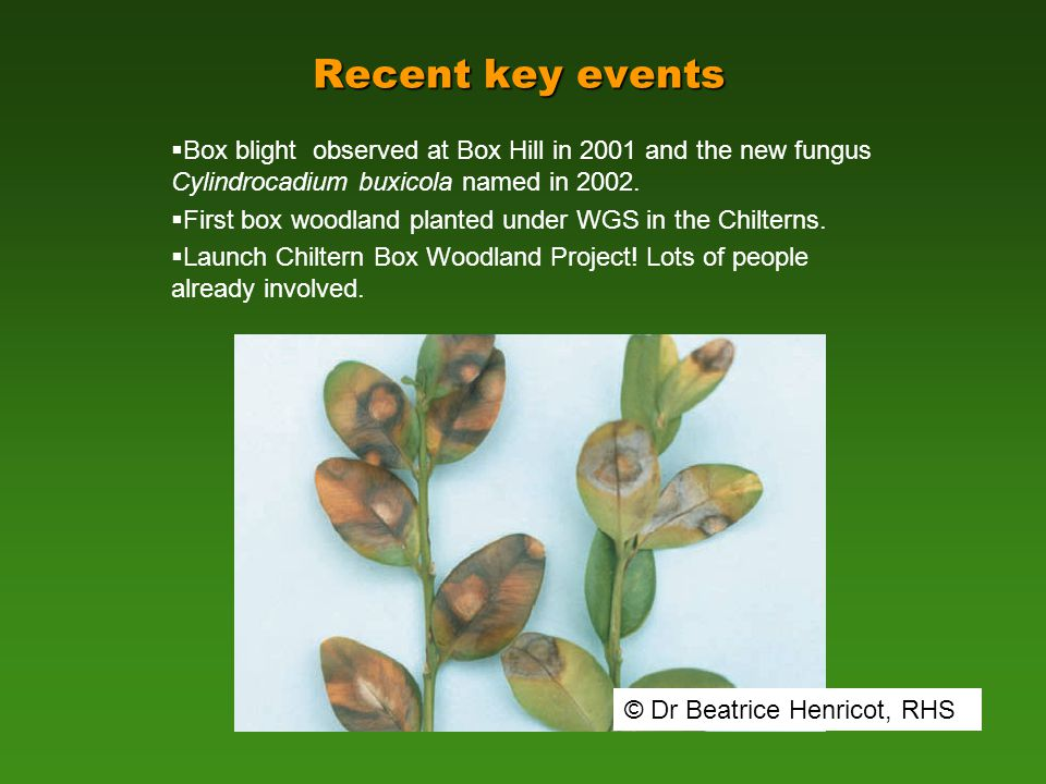 Recent key events  Box blight observed at Box Hill in 2001 and the new fungus Cylindrocadium buxicola named in 2002.