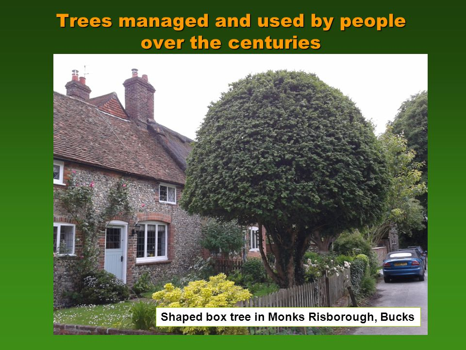 Trees managed and used by people over the centuries © C Smith Shaped box tree in Monks Risborough, Bucks