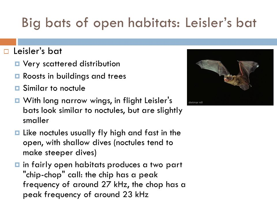  Leisler's bat  Very scattered distribution  Roosts in buildings and trees  Similar to noctule  With long narrow wings, in flight Leisler's bats