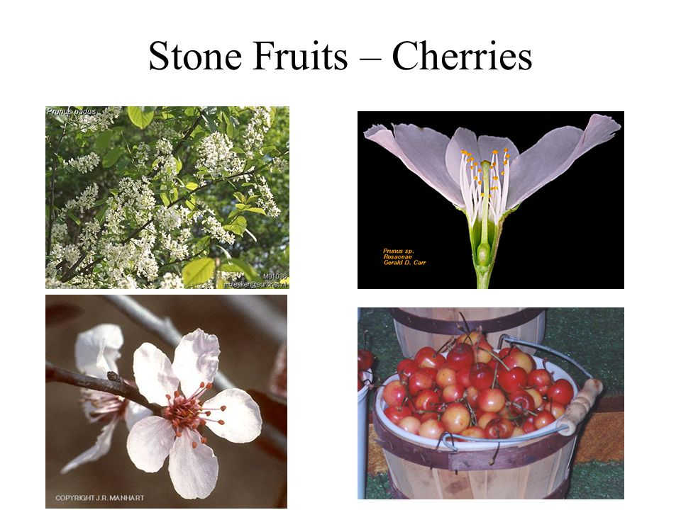 Stone Fruits – Plums and Peaches Plum Peach